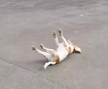 西班牙猎犬看到鸟类兴奋过度 身体僵硬倒在地上