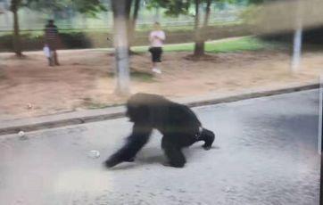 合肥大猩猩出逃 被黑豹突击队麻醉枪射中出逃并控制