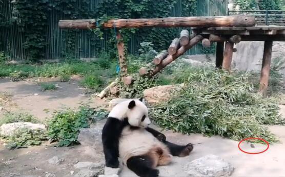动物园熊猫被砸 园方称熊猫正常同时呼吁文明游览